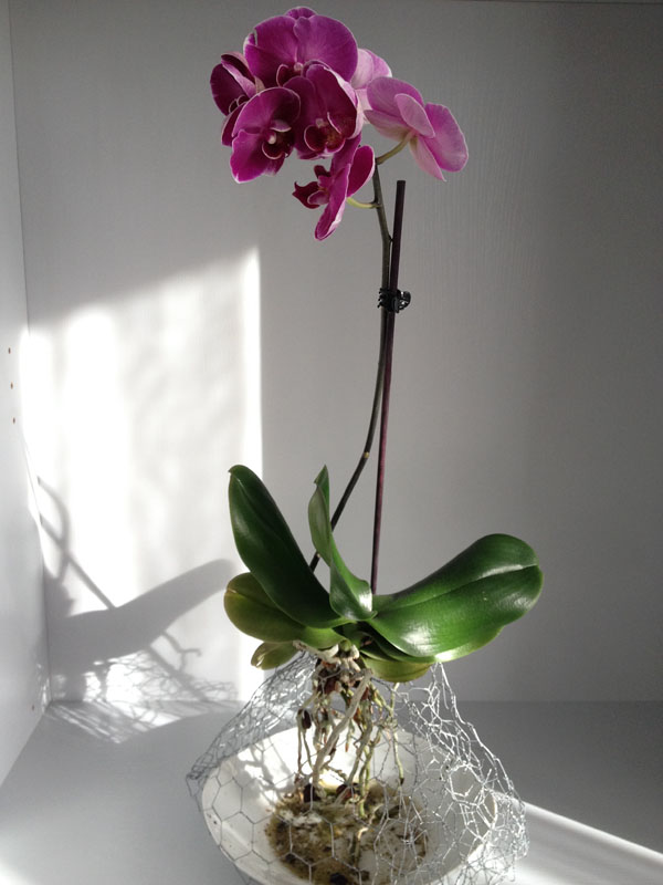 Phalaenopsis Orchid grow in the air