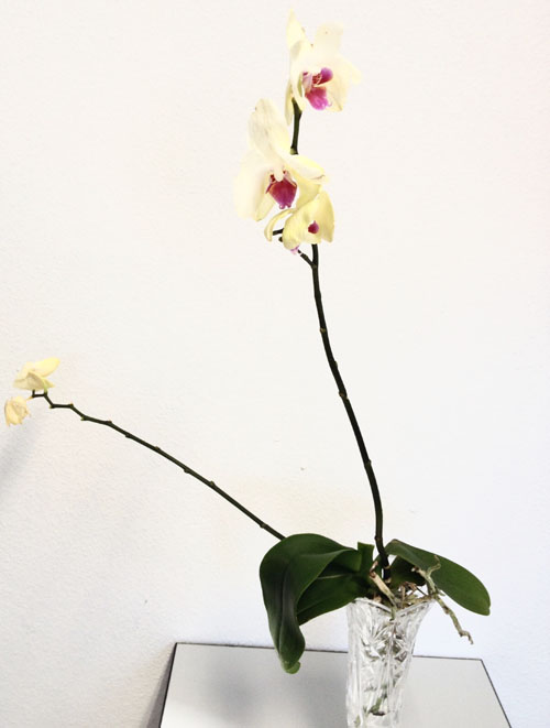 unhealthy orchid