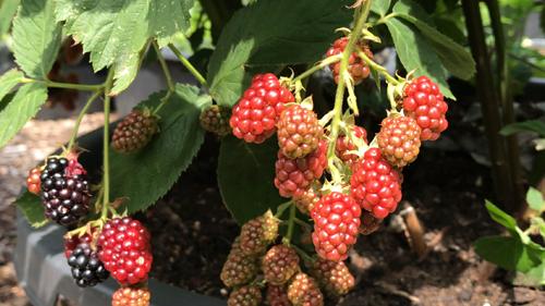 Harvesting Mulberries and Blackberries