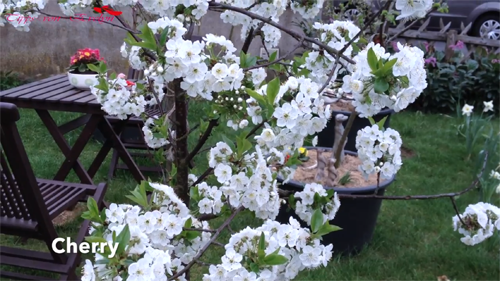 Plants Dwarf Tree In Bloom / Growing Dwarf Tree / Dwarf Fruit Tree