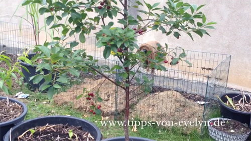 Growing Cherry In Container / Cherry Tree / Planting dwarf Cherry