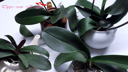 Orchid / Orchid Care & Grow / Orchid Spike / Orchid Teapot Garden