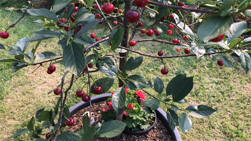 Growing Dwarf fruit trees, how to grow Miniature tree, Growing Semi-dwarf fruit tree, Small fruit tree for Garden, Growing cherries, How to grow cherry, cherry tree in containers
