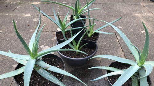 Fantastic Succulents Aloe Vera Plants