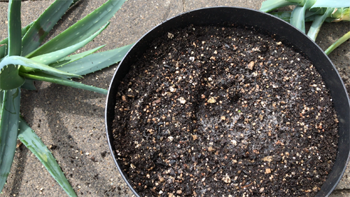 repotting aloe vera houseplant
