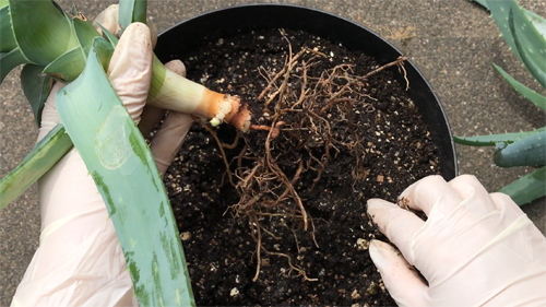 how to cut an aloe plant for use