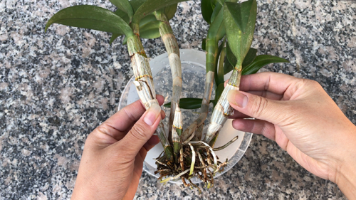 how to grow orchids, orchids growing, Orchid care, orchid new spike care, how to look after orchids, orchid care for beginners, orchid losing flowers, water culture orchids, hydroponic orchids, orchid cutting, double spike orchid, orchid growing roots in the air, unhealthy orchid roots, pruning orchids, do you trim orchid stems, when do orchids bloom indoors, orchids care, orchid care sunlight, orchid root care,