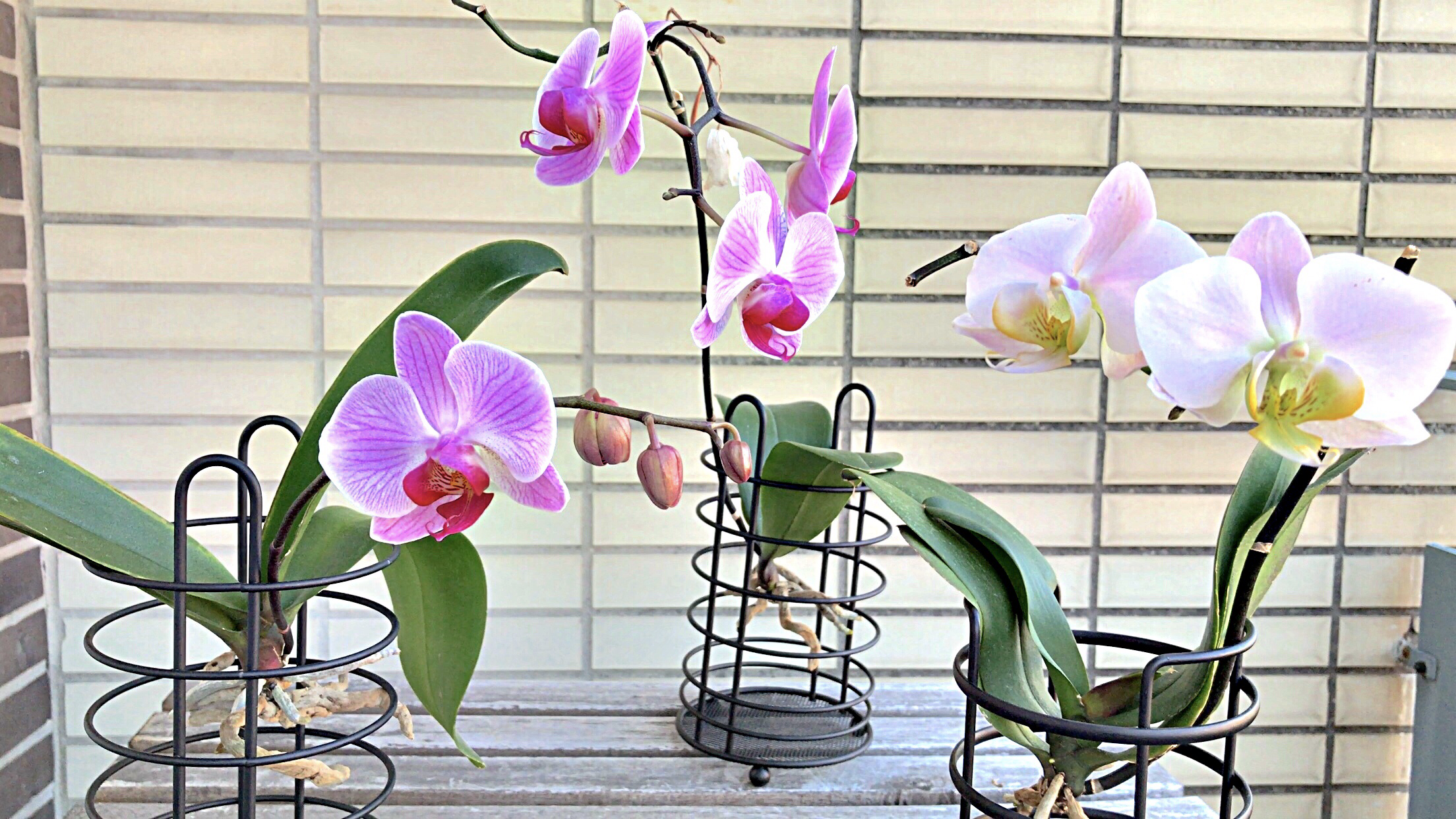 Orchid Care: Phalaenopsis Orchids grow in the Air