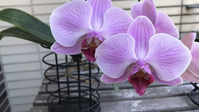Orchid care, orchid new spike care, how to look after orchids, orchid care for beginners, orchid losing flowers, water culture orchids, hydroponic orchids, orchid cutting, double spike orchid, orchid growing roots in the air, unhealthy orchid roots, pruning orchids, do you trim orchid stems, when do orchids bloom indoors