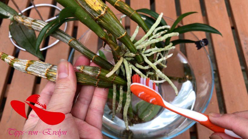 Orchid Care, Orchid Flower, Orchid Plants, best Fertilizer Orchids, Rebloom Orchids, Orchid Rescue, Watering orchids, Repotting orchids, Orchid air roots, water culture grow orchids in water, orchid care after flowering, full water culture orchids, orchid floating in water, orchid in water vase, beginner orchid care, orchids indoors how to care for orchids, water culture plants, orchid trimming, growing orchids, how to grow orchids indoors, Orchids, House plants, Orchid, orchid new spike care, how to look after orchids, orchid care for beginners, orchid losing flowers, water culture orchids, unhealthy orchid roots
