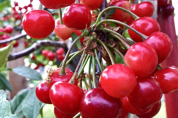 growing cherrytrees in pots,growcherry treeindoors,best soil forcherrytrees,stellacherry tree,dwarfcherry tree,cherry treesize,bingcherry tree,cherriesnutrition, freshcherries,benefits ofcherriesfor skin,types ofcherries,whfoodscherries,cherriescalories,arecherriesa superfood,arecherriesbad for you,wildcherry tree,sourcherrytrees,bestcherriesintheworld,cherry picker forcherries,harvesting blackcherries,grow cherry tree indoors,where do cherry trees grow best,best soil for cherry trees,