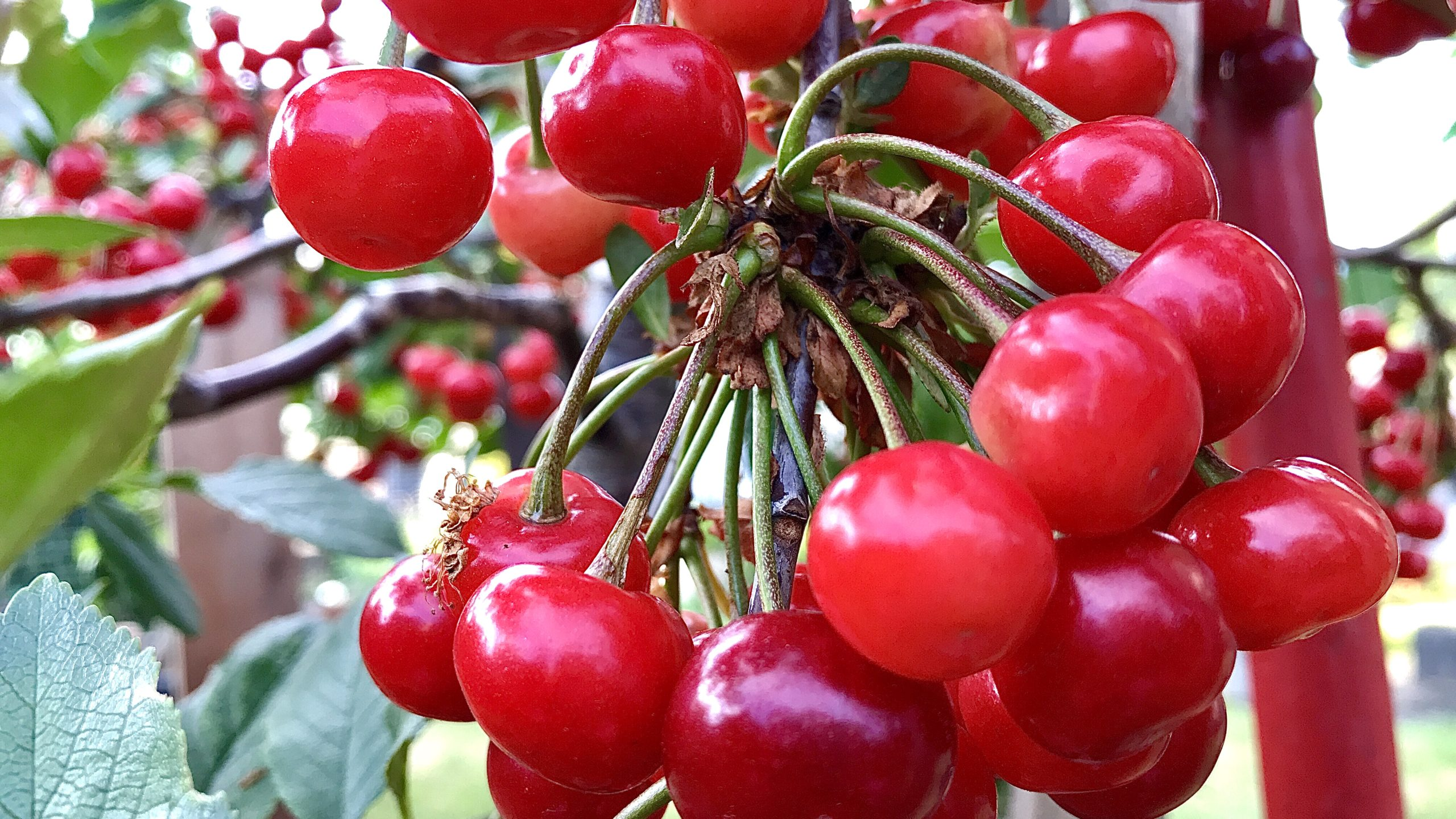 Cherry Tree - How to grow Cherry Tree in containers, Growing Cherries