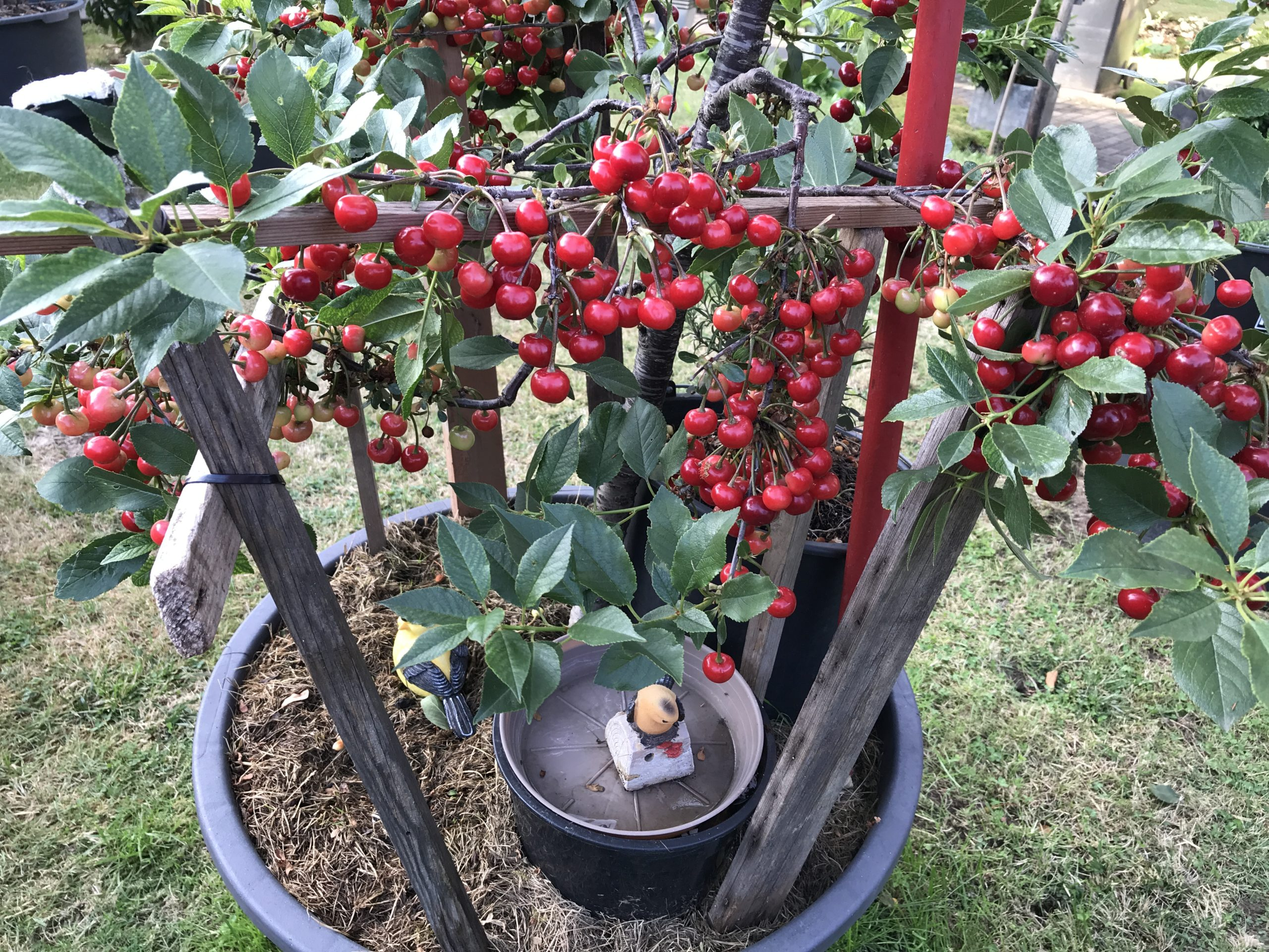 Cherry Tree - How to grow Cherry Tree in containers